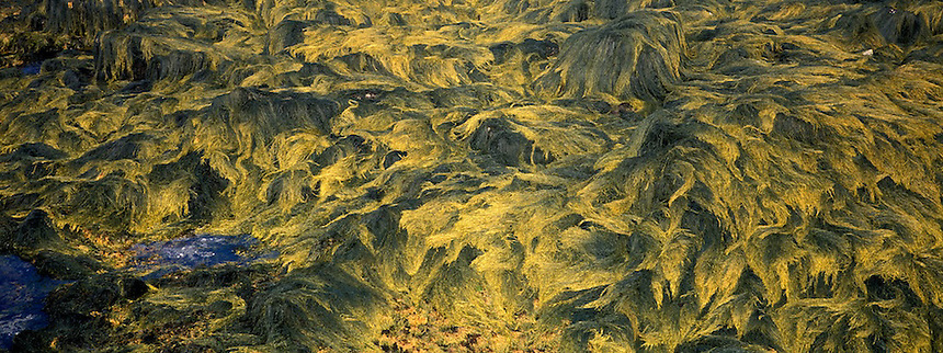 Ascophyllum nodosum (rockweed) on Appledore Island, Isles of Shoals, Maine..Photograph by Peter E. Randall