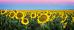 Sunflower fields at sunrise in Caroona, near Quirindi, Liverpool Plains, New England, NSW, Australia