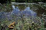 Common Frog, Rana Temporiria, Returning to Pond, landscape. .United Kingdom....