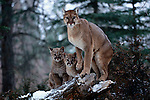 A female cougar stands guard over her two cubs in Montana. As predators in training, the cubs accompany their mother to learn and explore their environment and become familiar with prey by sharing her skills.