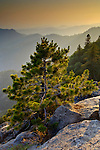 Golden sunset light on pine tree sapling growing out of granite rock outcrop on mountain, Sequoia National Park, California