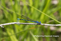 06084-00107 Springwater Dancer (Argia plana) in fen Washington Co. MO