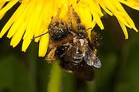 Hummel, Helle Erdhummel, Bombus lucorum, Weißschwanz-Erdhummel, <br /> white-tailed bumble bee als Blütenbesucher an Löwenzahn hat eine Sandbiene, Andrena spec. auf dem Rücken, Huckepack