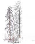 Yellowstone National Park, Wyoming: Bald eagle  (Haliaeetus leucocephalus) in larch tree; Lamar Valley in winter
