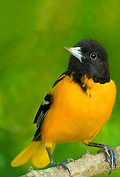 561920064v a wild breeding plumaged male baltimore oriole icterus galbula perches on a small tree limb on south padre island cameron county texas