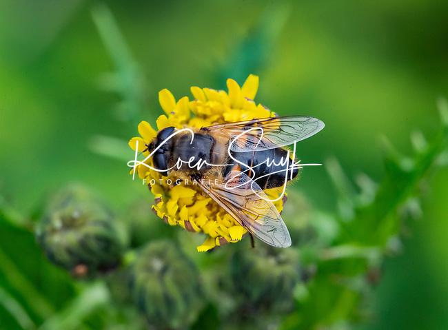 HALFWEG - Broekbij vlieg insecten op de golfbaan , Amsterdamse Golf Club. (AGC)  . Insecteninventarisatie  COPYRIGHT KOEN SUYK