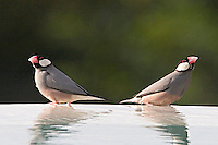 The Java Sparrow (Padda oryzivora) also known as Java Finch, Java Rice Sparrow or Java Rice Bird is a small perching bird. The adult is unmistakable, with its grey upperparts and breast, pink belly, white-cheeked black head, red eye-ring, pink feet and thick red bill. Introduced in Hawaii from Japan.