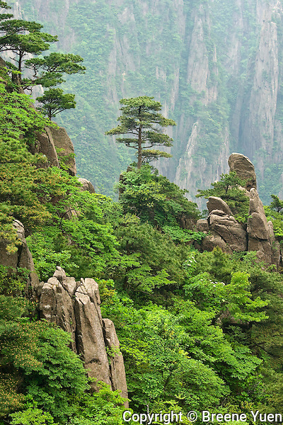 PInetrees make their home amongst the Huangshan peaks,  China, May 2007