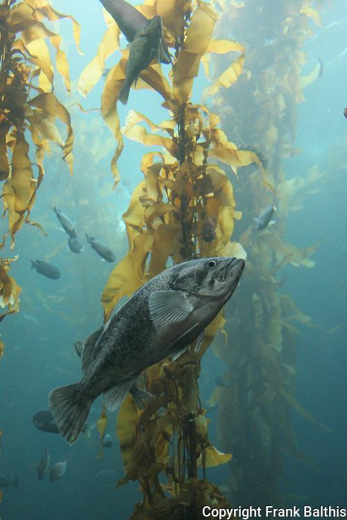 fish and kelp forest