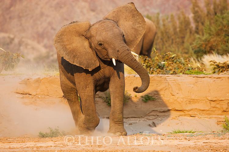 Namibia;  Namib Desert, Skeleton Coast,  desert elephant (Loxodonta africana) running down sand bank in dry river bed