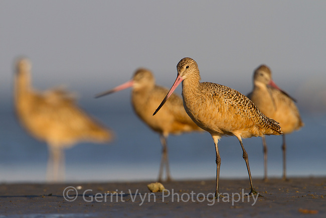 Group of adult Marbled Godwits (Limosa fedoa) standing on shore of a barrier island. Terrebonne Parish, Louisiana. October.