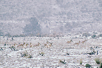 Pronghorn Antelope herd resting during winter snowstorm.  Western U.S.