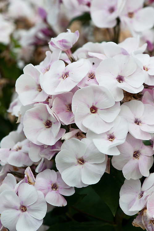 Phlox paniculata 'Mother of Pearl', early August.