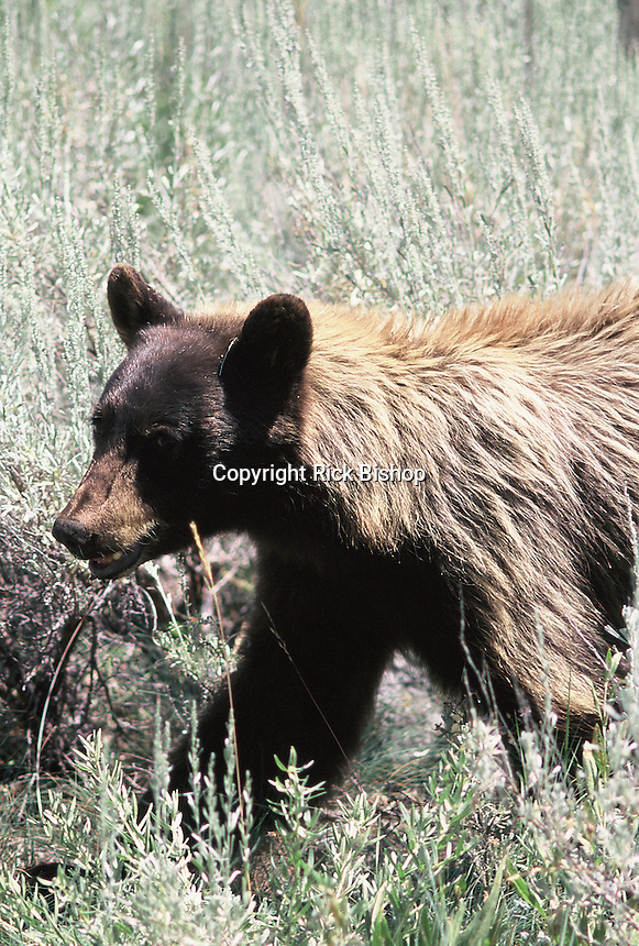 A brown coat colored Black Bear (Ursus americanus) seen up close in Yellowstone National Park on a summer day.