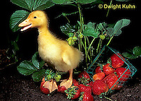 DG20-117z  Pekin Duck - ten day old duckling among picked strawberries