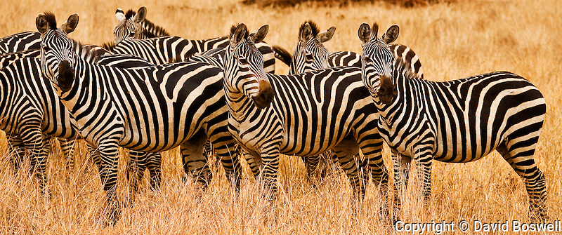 Zebras in Tarangire National Park in northen Tanzania