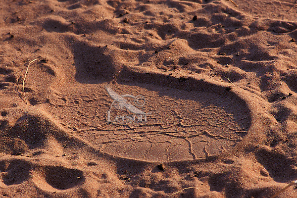 African Elephant footprint in sand.  Africa.