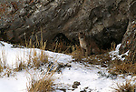Mountain lion cub sitting outside den in the National Elk Refuge in Jackson Hole, WY
