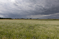 20.7.2020  Cover crop in the Lincolnshire Fens <br />  ©Tim Scrivener Photographer 07850 303986<br />      ....Covering Agriculture In The UK.