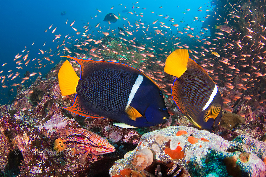 A reef scene with a pair of king angelfish, Holacanthus passer, a Mexican hogfish adult female phase, Bodianus diplotaenia, and schooling cardinalfish, Apogon pacifici, Gordon Rocks, Galapagos Archipelago, Ecuador.