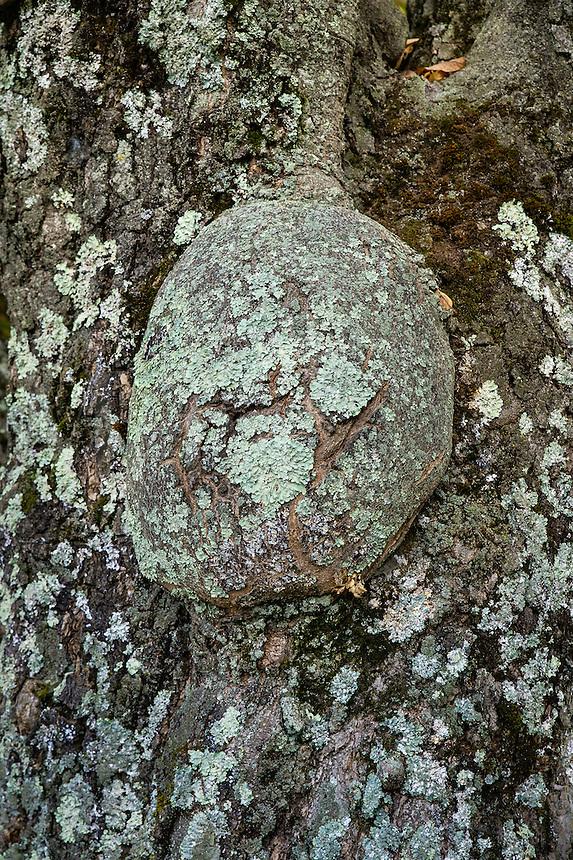 Huge burl at the base of a lichen covered tree,  Winner Creek, Chugach National Forest, Alaska, USA