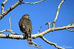 HAWKS, sharp-shinned hawk