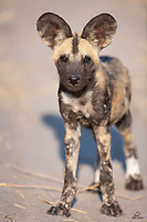 """African Wild Dog (aka """"Painted Wolf"""") (Lycaon pictus) puppy, about 3 months old. Along with 10 of its litter mates, this youngster had only recently emerged from the den. At this age they can begin to keep up with the adults of the pack. An endangered species, there are an estimated 6,000 or so in the wild. We were thrilled to see almost 30 of them in Botswana this year."""