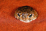 Near Alice Springs, Australia --- Spencer's Burrowing Frog Emerging from Burrow