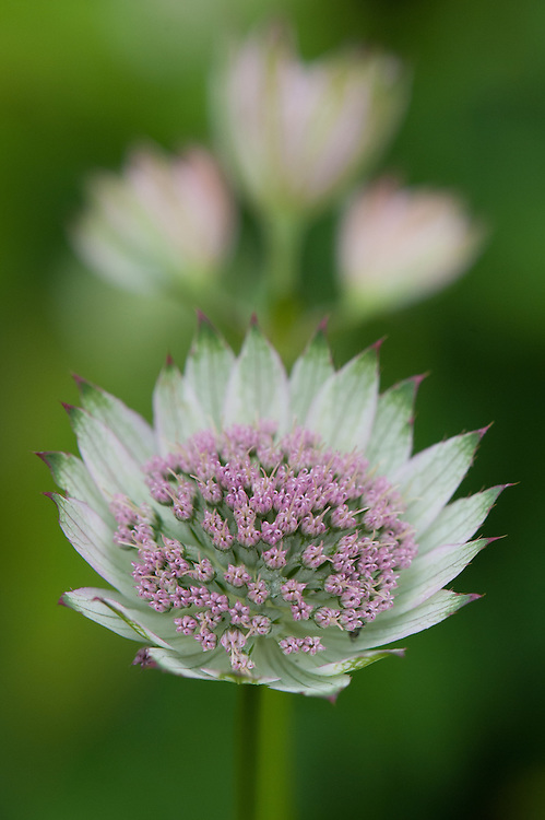 "Astrantia major 'Buckland', early July. ""The pale green ruff of bracts and rosy pink stamens make for a flower of great beauty. An old clone now that can still hold its head high. 60cm."" [Marchants Hardy Plants]"
