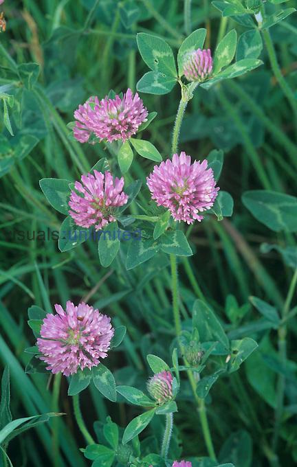 Red Clover ,Trifolium pratense, North America.
