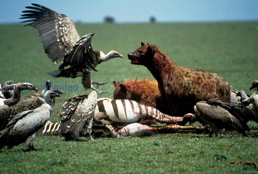 A Spotted Hyena and vultures fighting over the zebra kill.   Serengeti National Park, Tanzanian