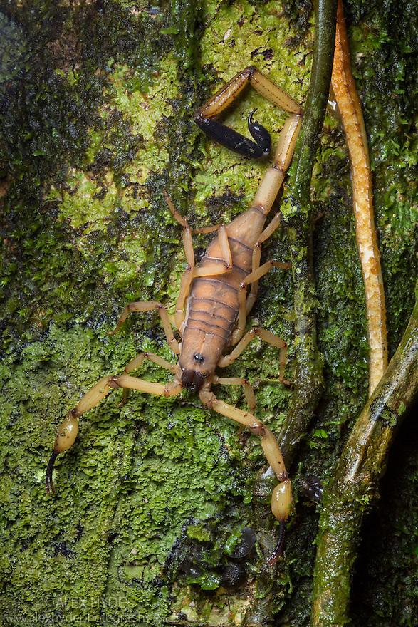 Bark Scorpion {Centruroides limbatus} Central Caribbean foothills, Costa Rica. May.