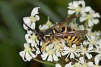 Waldwespe, Wald-Wespe, Männchen, Wespe, Dolichovespula sylvestris, Tree wasp
