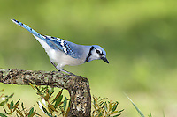 Blue Jay - Cyanocitta cristata<br /> Adult<br /> Harris Co., TX<br /> September 2014