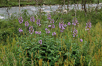 Alpen-Milchlattich, Alpenmilchlattich, Milchlattich, Cicerbita alpina, Lactuca alpina, Mulgedium alpinum, Mountain Sow Thistle, Alpine Blue-sow-thistle