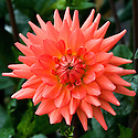 Dahlia 'Rockliffe Billy', mid August. Awarded RHS AGM in 2010.