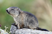 Young Marmot sitting on a stone