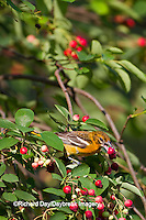 01611-08806 Baltimore Oriole (Icterus galbula) female eating berry in Serviceberry Bush (Amelanchier canadensis) Marion Co., IL
