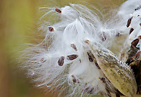 A Milkweed seedpod opens to have the wind do it's sowing, Morton Arboretum, Schulenburg Prairie, DuPage County, Illinois