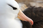 Portrait of a Black-browed Albatross.
