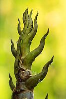 France, Gard, Générargues, LA BAMBOUSERAIE : extrémité d'une nouvelle pousse de bambou, Phyllostachys nigra 'Boryana' = f. boryana.