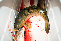 Fish caught by team Twisted Limbs from Haines City, Florida, during the U.S. Open Bowfishing Championship, Saturday, May 3, 2014. <br /> <br /> Photo by Matt Nager