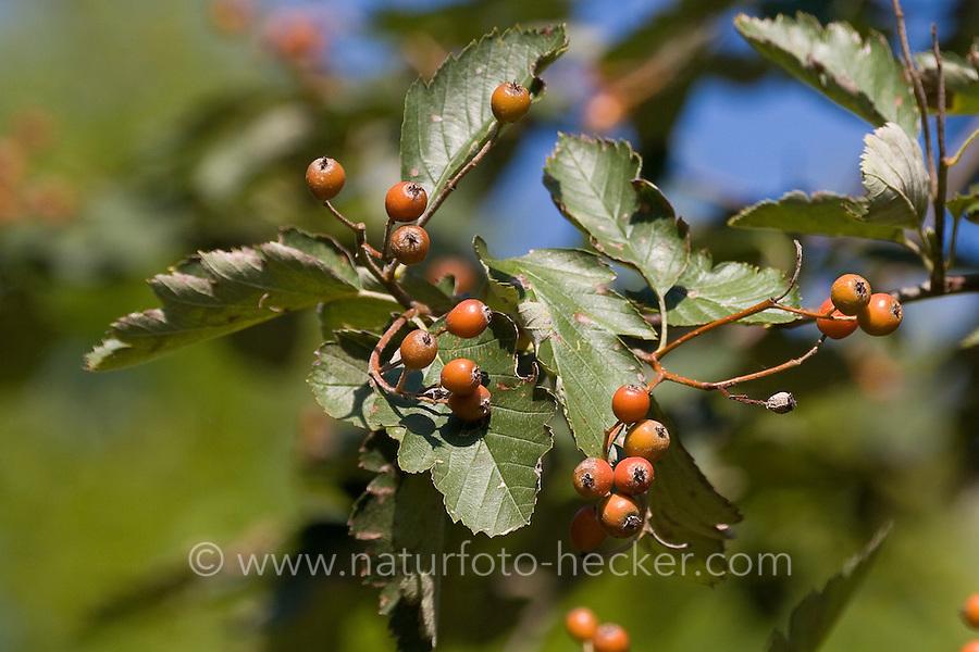 Schwedische Mehl-Beere, Mehlbeere, Oxalbeere, Früchte, Frucht, Sorbus intermedia, Swedish Whitebeam, Alisier de Suède