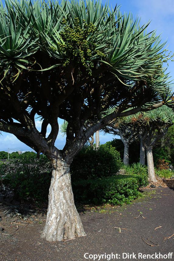 Drachenbaum (Dracaena) im Weinbaumuseum in Madalena auf der Insel Pico, Azoren, Portugal