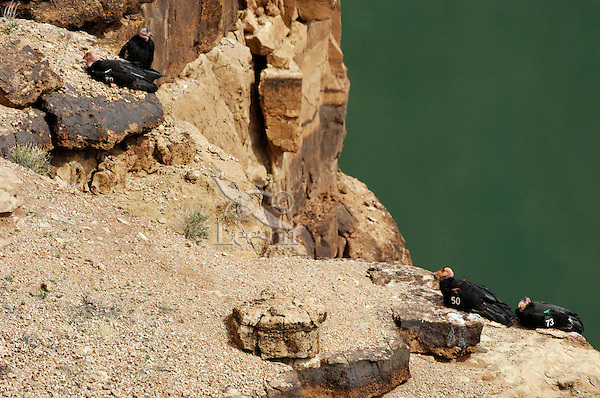 California Condors (Gymnogyps californianus)  resting on cliff above Colorado River near Marble Canyon, Grand Canyon National Park, Arizona.