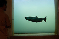 Salmon swimming up fish ladder at Bonneville Dam on the Columbia River, Washington-Oregon border.  Salmon are seen through windows in the dam that view the fish ladder.