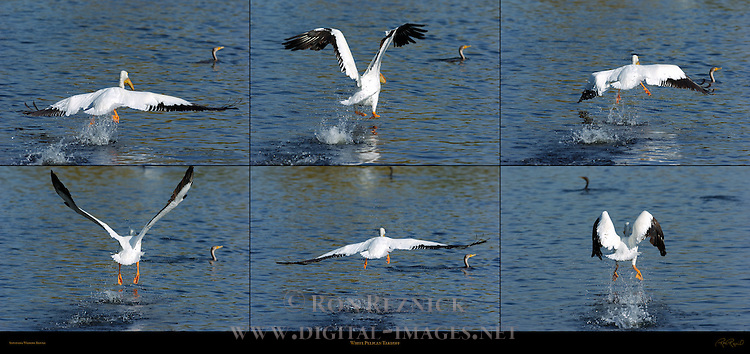 White Pelican Takeoff, American White Pelican, Sepulveda Wildlife Refuge, Southern California