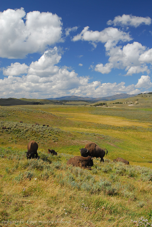 My first visit to Yellowstone National Park and Old Faithful Inn. I experienced the yearly migration of the bison/buffalo from Hayden Valley to the lower area of Yellowstone Park, as well as Old Faithful