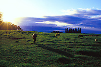 Horses grazing in green pastureland of Haleakala Ranch at sunset in upcountry Maui. The ranch is one of the largest privately owned cattle ranches in the United States.