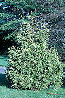 Cryptomeria japonica Spiralis showing entire evergreen tree in landscape garden